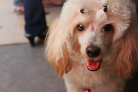 close up face of the Poodle dog  Stock Photo
