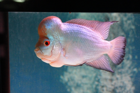 large cichlid: The Red White pearl of Cichlid fish Stock Photo