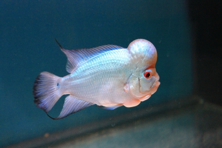 The Green White pearl of Cichlid fish Stock Photo - 18027636