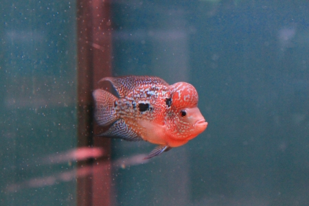 large cichlid: The Red of Cichlid fish Stock Photo