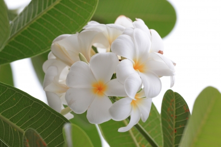 White Frangipanis or plumeria in natural leaves photo