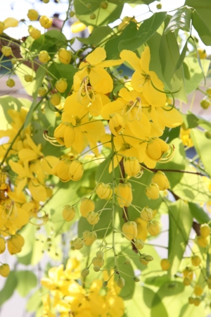 The Ratchaphruek tree is filled with yellow flowers Stock Photo