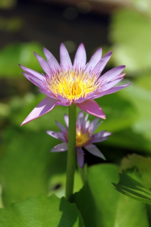 The Yellow and Pink Lotus,The lotus in the pool  photo