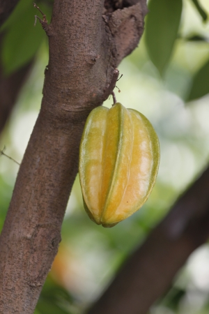 Carambola or starfruit is the fruit in Thailand,Sweetened and sour. Stock Photo
