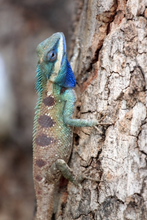 chameleon on a Tree,It looks relaxation. photo