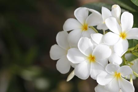A bunch white flower in the garden Park.
