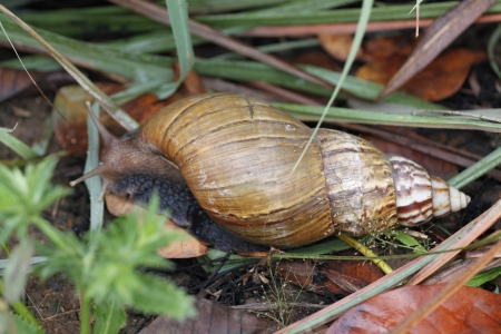 The Gastropod in The Vegetables Garden. Stock Photo - 19272830