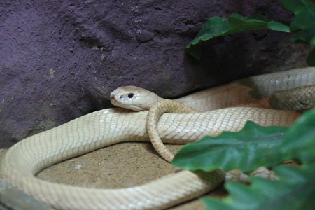 The white King cobra It was lying beside a stone  photo