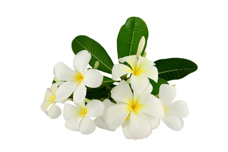 White frangipani and Green leaf on a white background  photo
