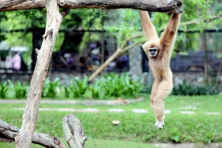 trapeze: Monkey were the trapeze with fun  Stock Photo
