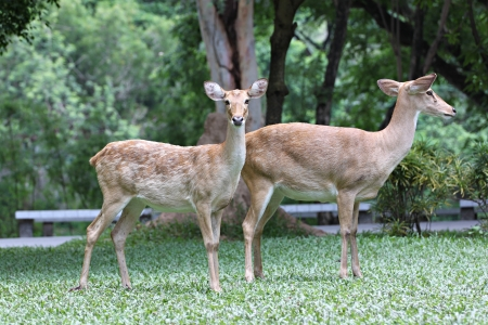 Two deer on the green grass,It locking to the camera  Stock Photo