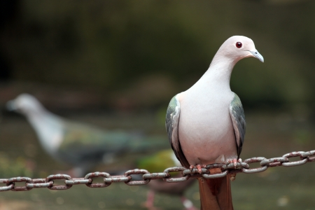 pidgeon: Pigeon are perched on a chain  Stock Photo