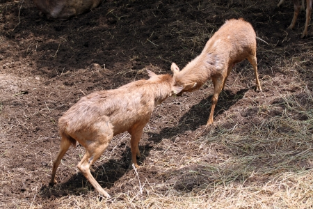 wrest: wild deer were fighting to wrest area Stock Photo