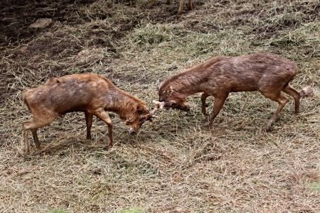 wrest: wild deer were fighting to wrest area Stock Photo