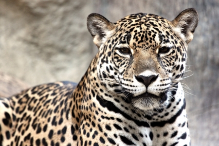 Leopard was watching something very interesting  photo