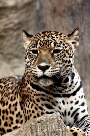 Leopard relaxing on The day comfortable sleeping  photo