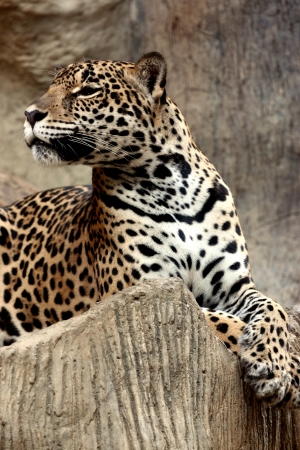 Leopard relaxing on The day comfortable sleeping  Stock Photo