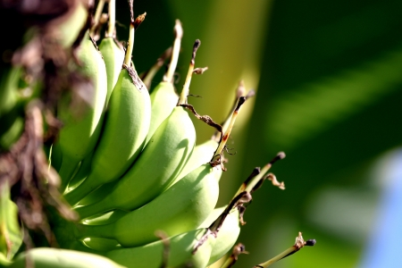 Zoom the Bananas are a fruit, but not ripe Stock Photo - 19643580