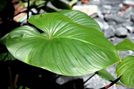 The Anthurium andraeanum Leaves in the garden. Stock Photo