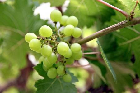 seedless: The Green seedless grapes on the tree. Stock Photo