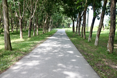 either: The road through the Rubber plantations and the Rubber tree on either side.
