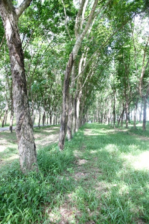 The rubber plantation is about two years. photo