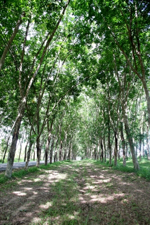 two years: The rubber plantation is about two years. Stock Photo