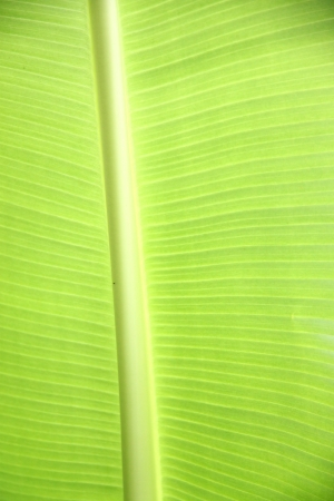 The leaves of the banana trees in various patterns. photo