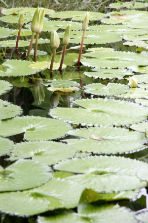 hydrophyte: The Lotus not bloom in the pond