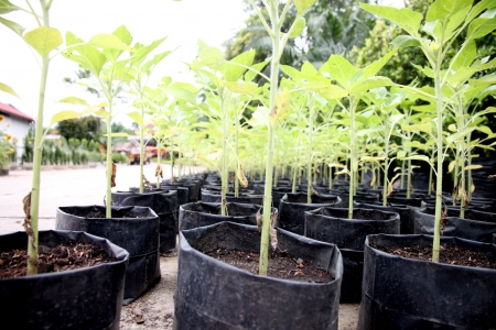 The seedlings of trees that will be planting in garden  photo