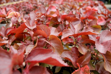 The Red leaves in the garden, it can be a beautiful background  photo