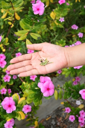 propagation: The Seed of Catharanthus roseus in hand,It was used for propagation