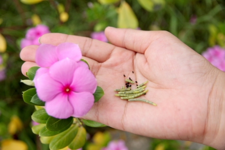 The Seed of Catharanthus roseus in hand,It was used for propagation  photo