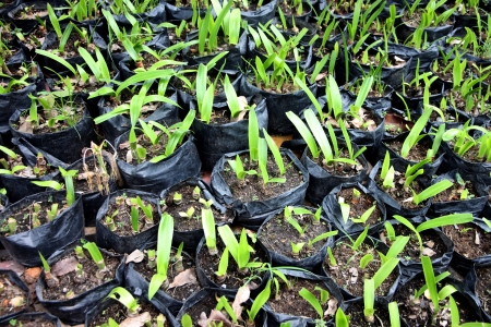 The Seedlings in black plastic bags  photo