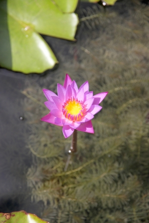 watergarden: Closeup Picture Purple lotus and green leaf in the pond  Stock Photo