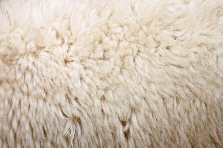 The Zoom Wool of sheep.
