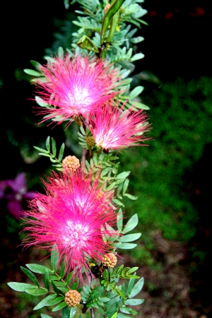 powder puff: The Picture of Pink Red Powder Puff. Stock Photo