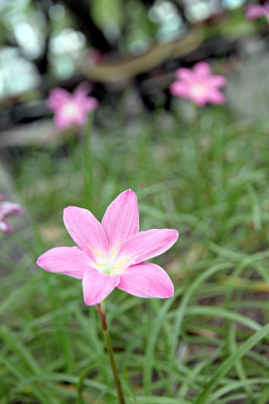 Closeup The Picture Pink flowers in the tropics,Thailnad. Stock Photo