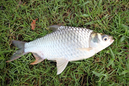 The Barb of Cyprinidae fish on the Green grass. Stock Photo - 22552488
