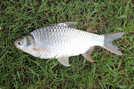 The Barb of Cyprinidae fish on the Green grass. Stock Photo - 22552489