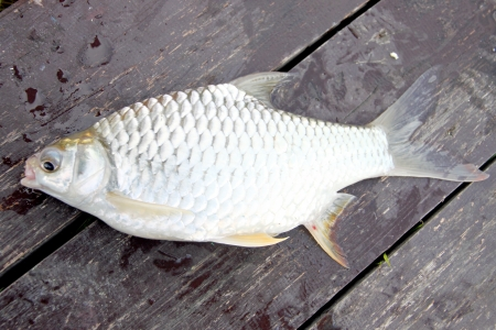 The Barb of Cyprinidae fish on the Wooden boards Stock Photo - 22552533