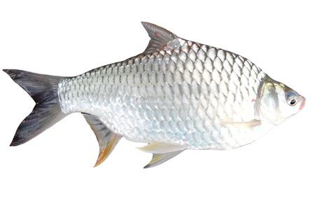 cyprinidae: The Barb of Cyprinidae fish on white