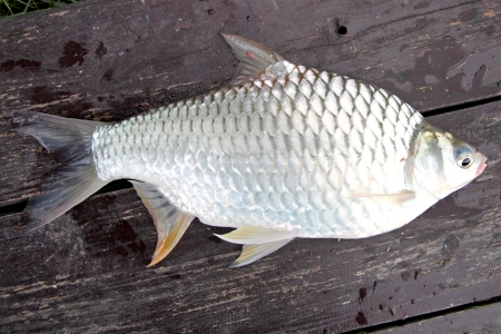 The Barb of Cyprinidae fish on the Wooden boards Stock Photo - 22552535