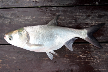 The Fish silver carp on the Wooden boards Stock Photo - 22552536