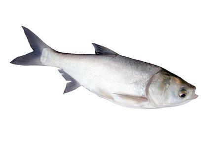 The Fish silver carp on white Stock Photo - 22552537