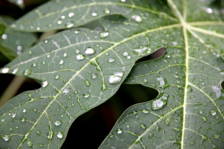 Water drops on the leaves of papaya in the Orchard. photo