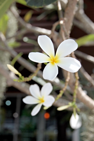 The Picture White Frangipani or Leelawadee in tree.