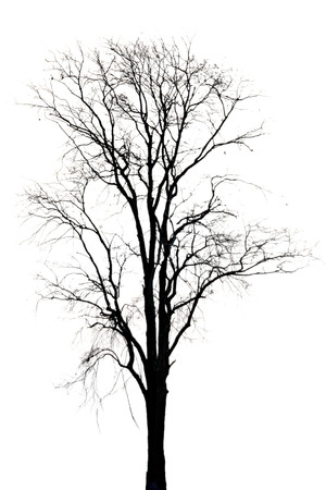 Silhouette of dead tree on white background  photo