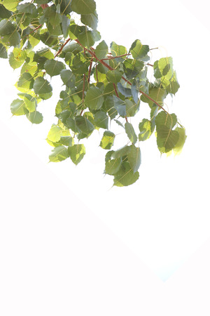 Branch of the Bodhi tree on white background. photo