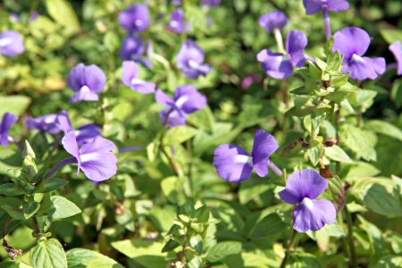 Violet Garden Balsam or Rose Balsam in the garden Stock Photo - 24523911